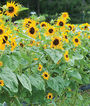 Sunflower, Frilly Hybrid, , large